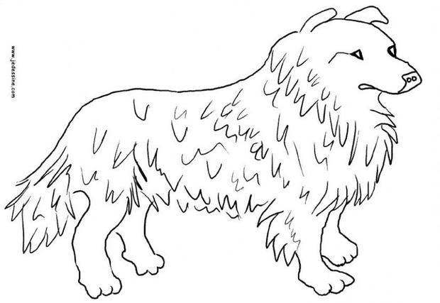 Collie coloring #13, Download drawings