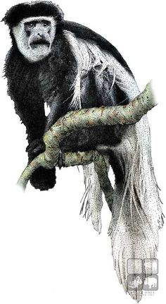 Colobus Monkey  clipart #11, Download drawings