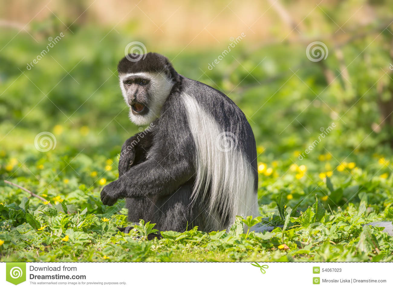 Colobus Monkey  clipart #6, Download drawings