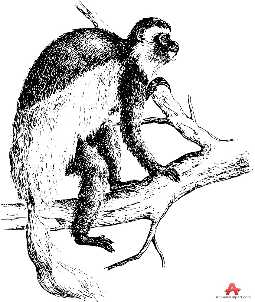 Colobus Monkey  clipart #4, Download drawings