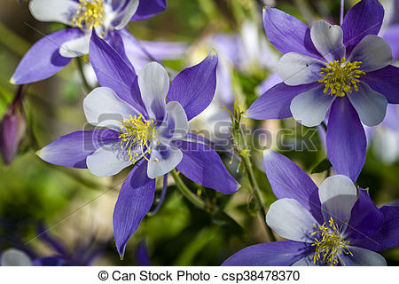 Colorado Blue Columbine clipart #6, Download drawings