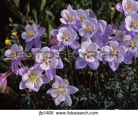 Colorado Blue Columbine clipart #1, Download drawings