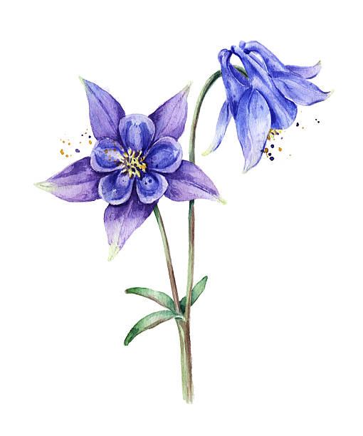 Colorado Blue Columbine clipart #14, Download drawings