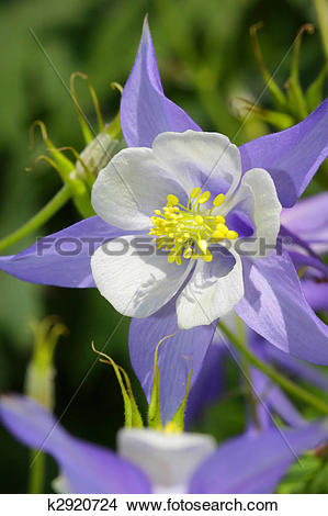 Colorado Blue Columbine clipart #13, Download drawings