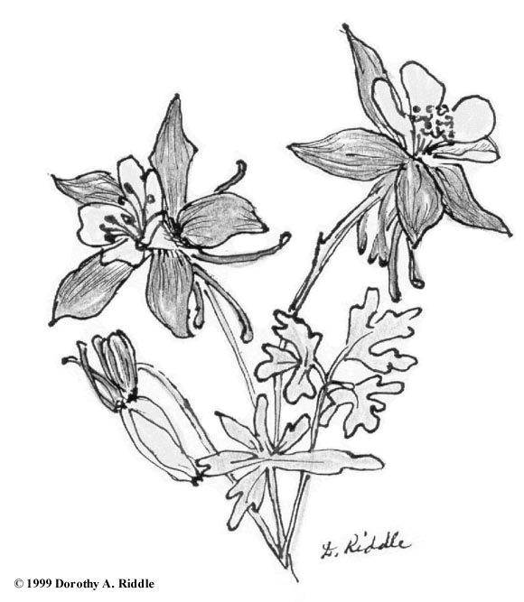 Columbine Flower Line Drawing : Colorado blue columbine coloring download