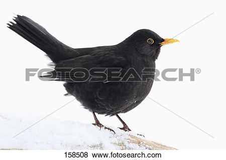 Common Blackbird clipart #12, Download drawings