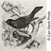 Common Blackbird clipart #10, Download drawings