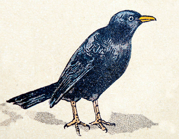 Common Blackbird clipart #14, Download drawings