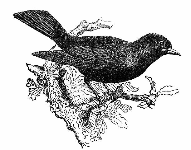 Common Blackbird clipart #18, Download drawings