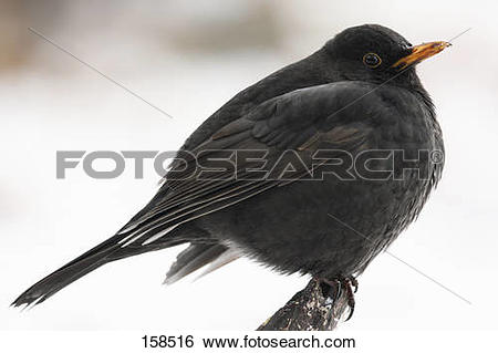 Common Blackbird clipart #13, Download drawings