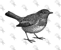 Common Blackbird clipart #3, Download drawings