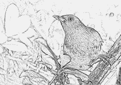 Common Blackbird coloring #8, Download drawings