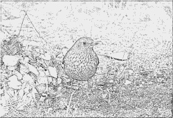 Common Blackbird coloring #14, Download drawings