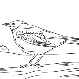 Common Blackbird coloring #1, Download drawings