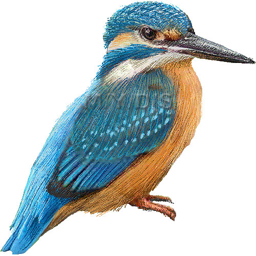 Common Kingfisher clipart #2, Download drawings