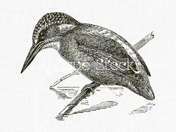 Common Kingfisher clipart #3, Download drawings