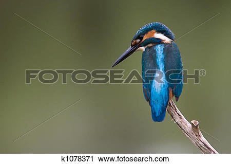 Common Kingfisher clipart #10, Download drawings