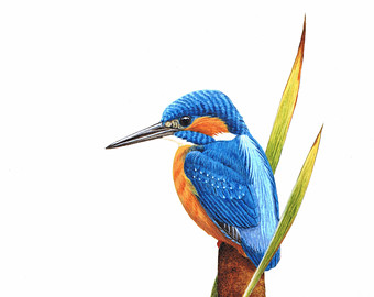 Common Kingfisher clipart #19, Download drawings
