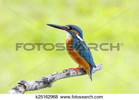Common Kingfisher clipart #15, Download drawings