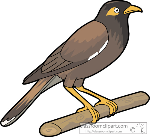 Myna clipart #1, Download drawings
