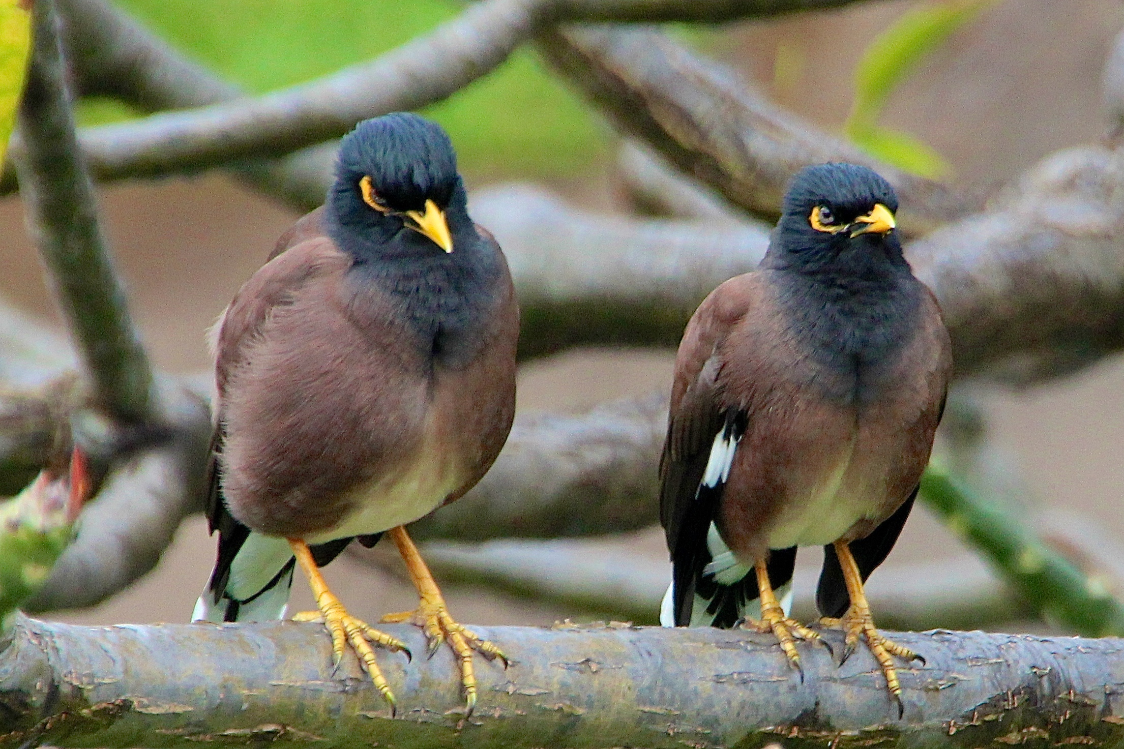 Common Myna coloring #11, Download drawings