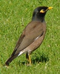 Common Myna coloring #7, Download drawings