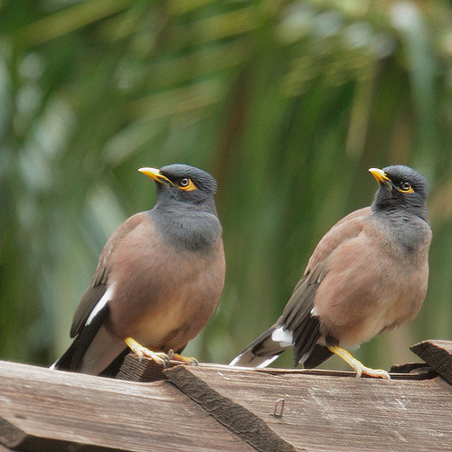 Common Myna coloring #10, Download drawings