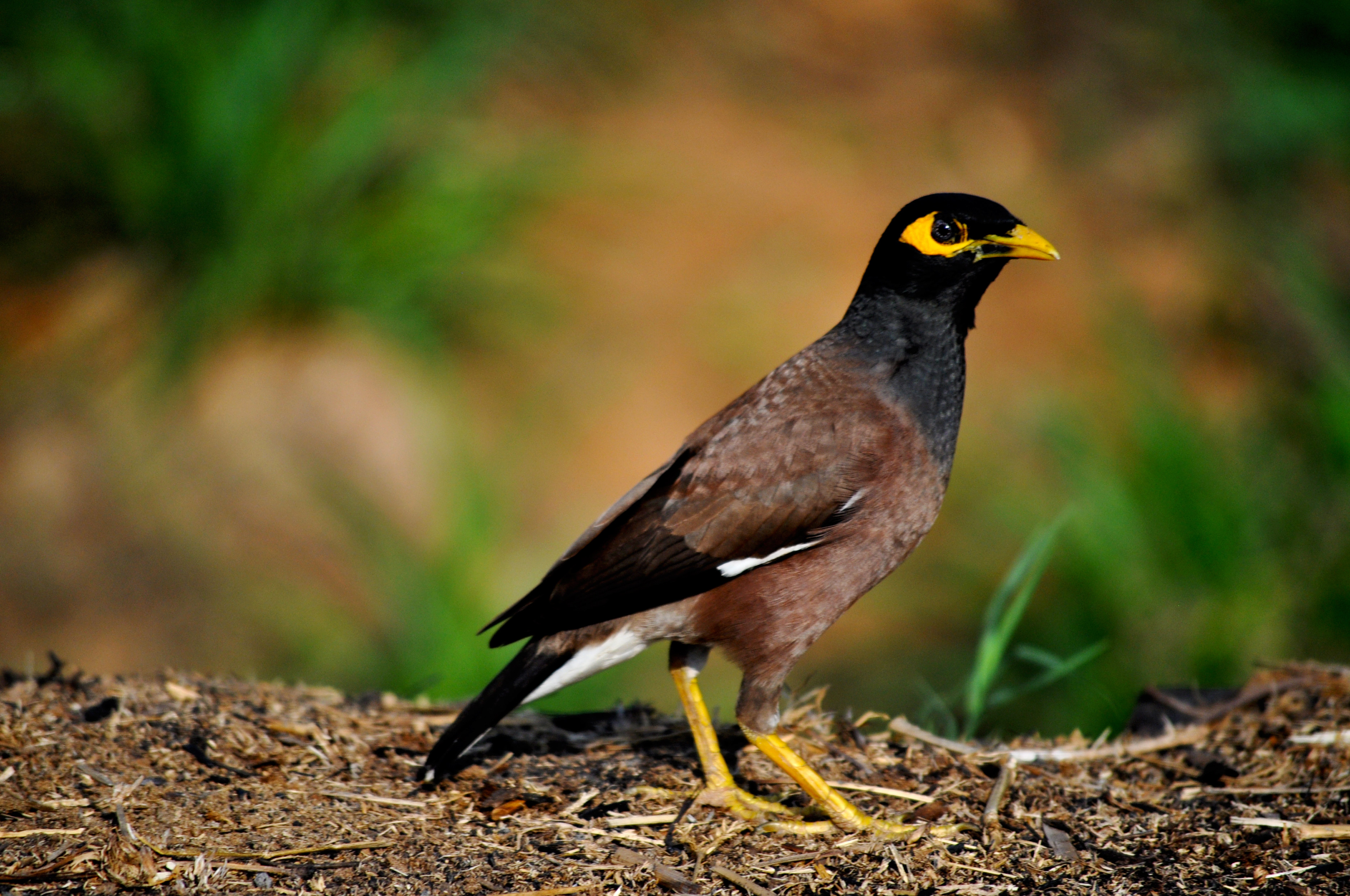 Common Myna coloring #1, Download drawings