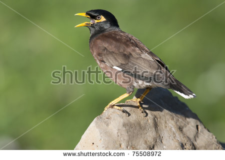 Common Myna coloring #5, Download drawings