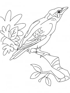 Common Myna coloring #4, Download drawings