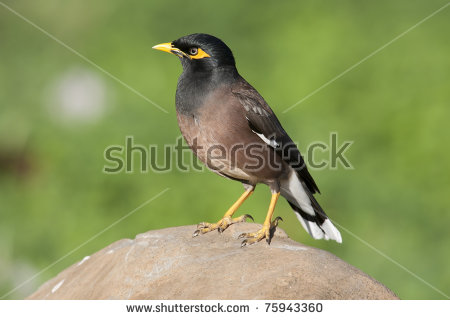 Common Myna coloring #8, Download drawings