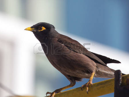 Common Myna coloring #6, Download drawings