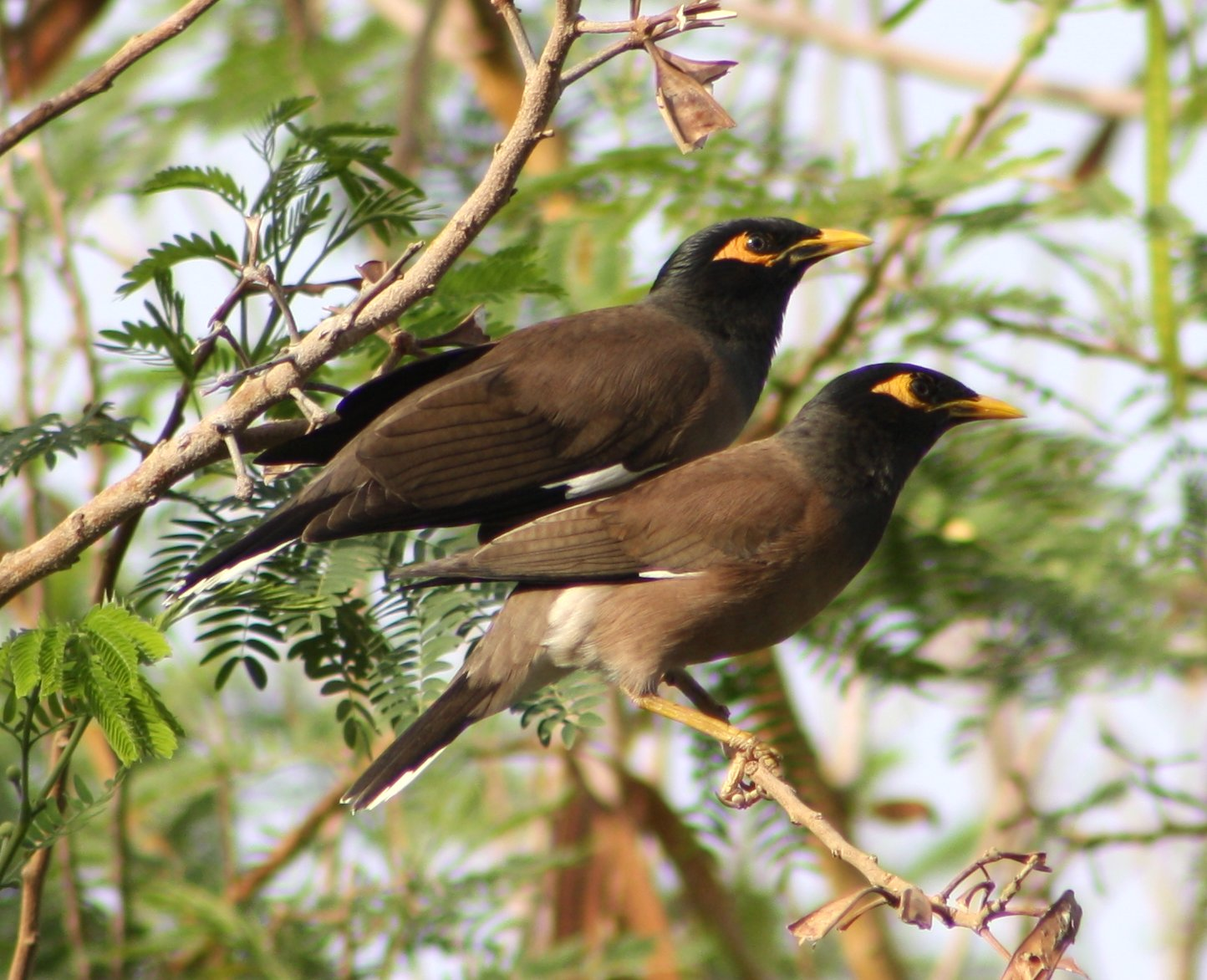 Common Myna coloring #16, Download drawings