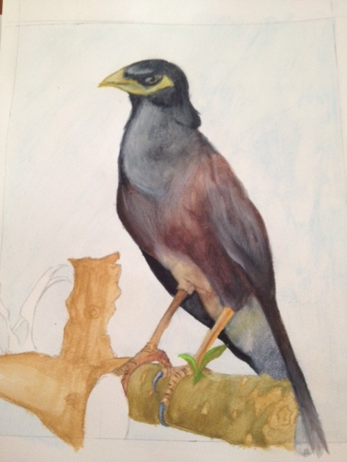 Common Myna coloring #15, Download drawings