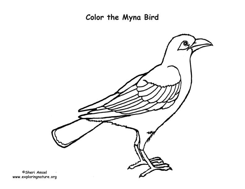 Myna coloring #20, Download drawings