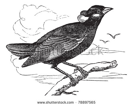 Common Myna coloring #13, Download drawings