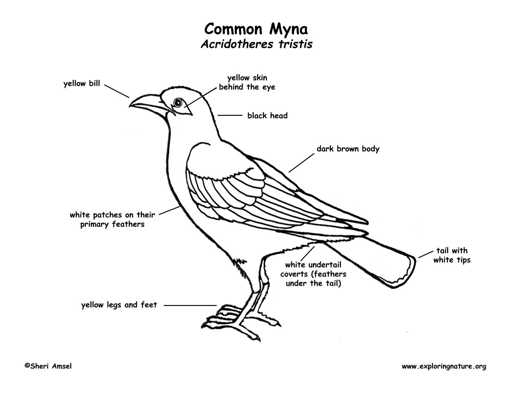 Myna coloring #10, Download drawings