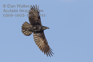 Common Raven clipart #3, Download drawings