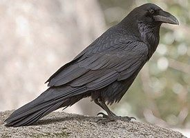 Common Raven clipart #2, Download drawings