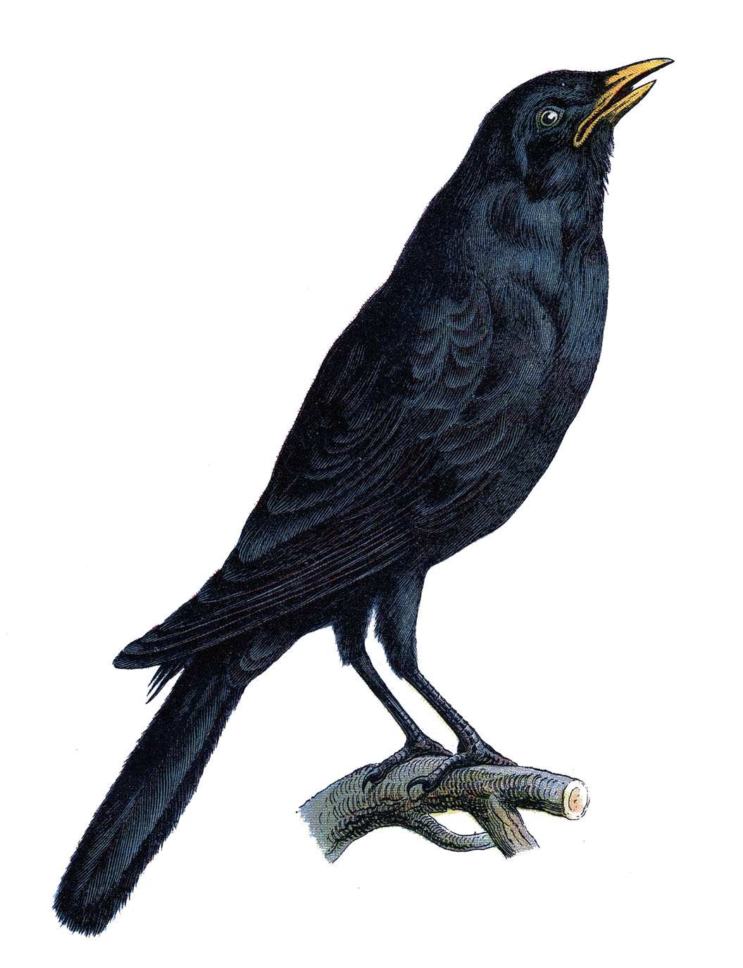 Common Raven clipart #5, Download drawings