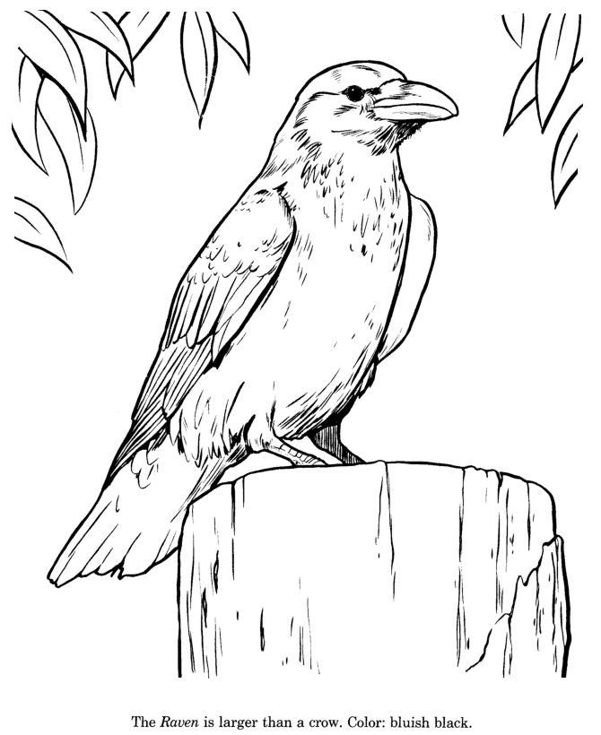Common Raven coloring #15, Download drawings