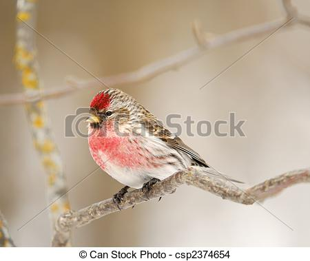 Common Redpoll clipart #3, Download drawings