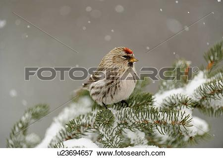 Common Redpoll clipart #12, Download drawings