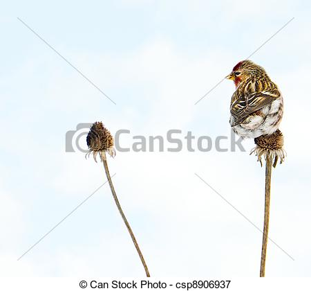 Common Redpoll clipart #2, Download drawings
