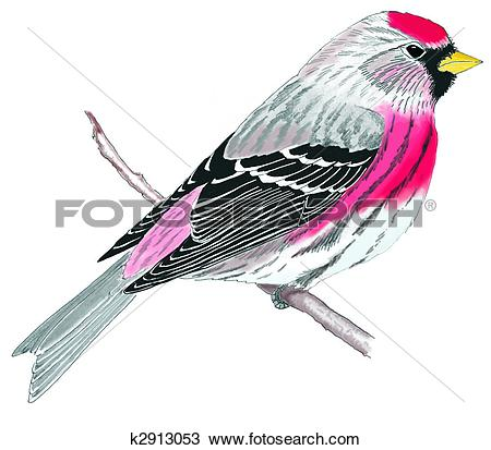 Common Redpoll clipart #17, Download drawings