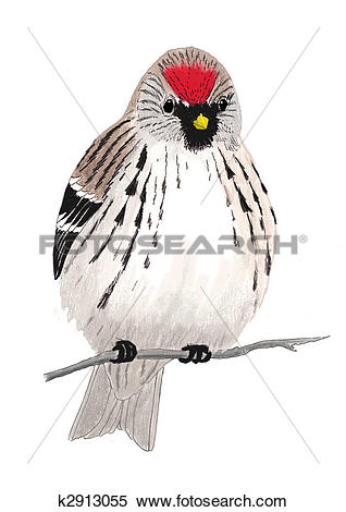 Common Redpoll clipart #18, Download drawings