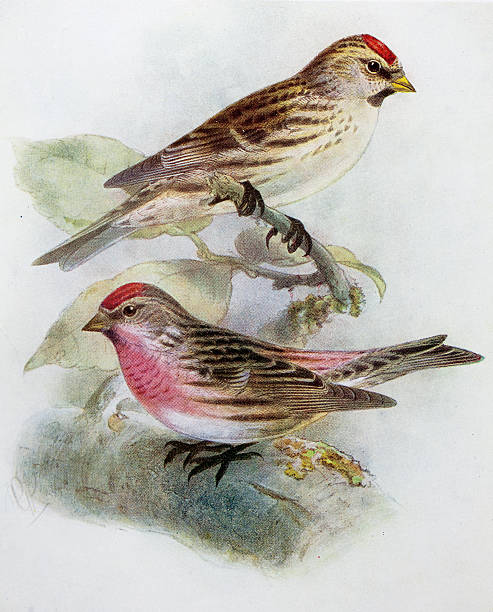 Common Redpoll clipart #14, Download drawings