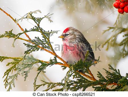 Common Redpoll clipart #16, Download drawings