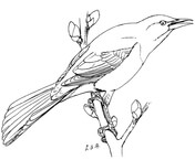 Common Redpoll coloring #11, Download drawings