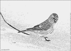 Common Redpoll coloring #13, Download drawings